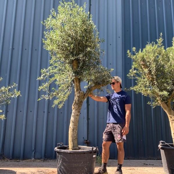 Olive Tree Specimen D66