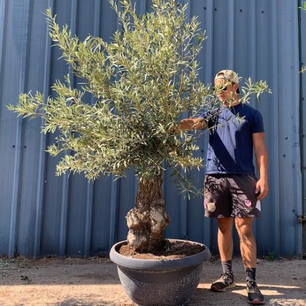 Olive Tree Specimen D70
