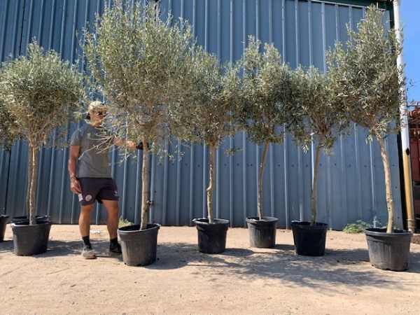 Olive Trees x 5  F70c Batch Clearance Offer