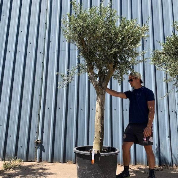 Olive Tree Specimen L1206