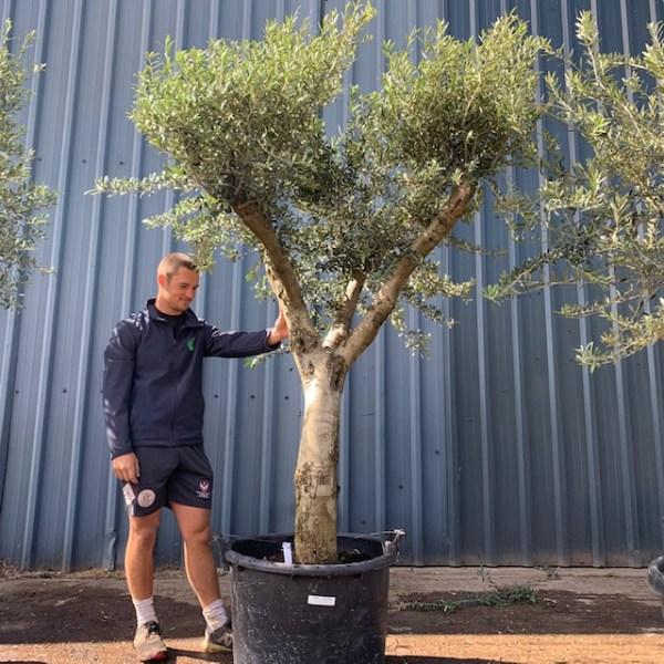 Olive Tree Specimen L1390