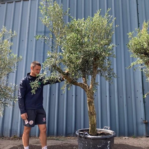 Olive Tree Specimen L1391