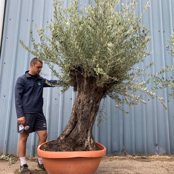 Olive Tree Specimen L1398