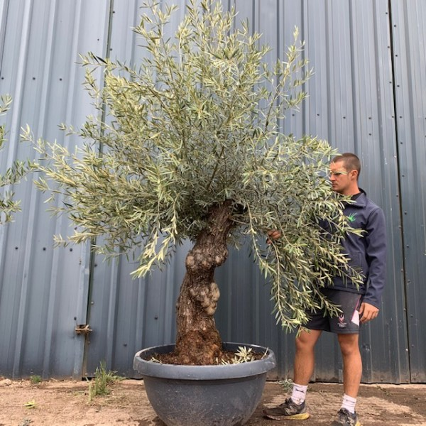 Olive Tree Specimen L1399