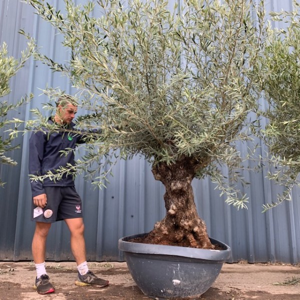 Olive Tree Specimen L1400