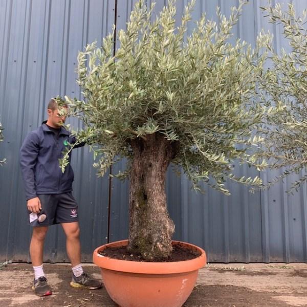 Olive Tree Specimen L1401