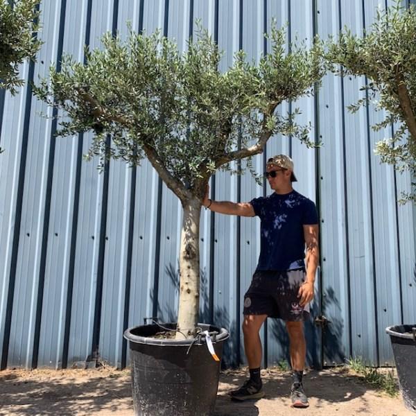 Olive Tree Specimen L879