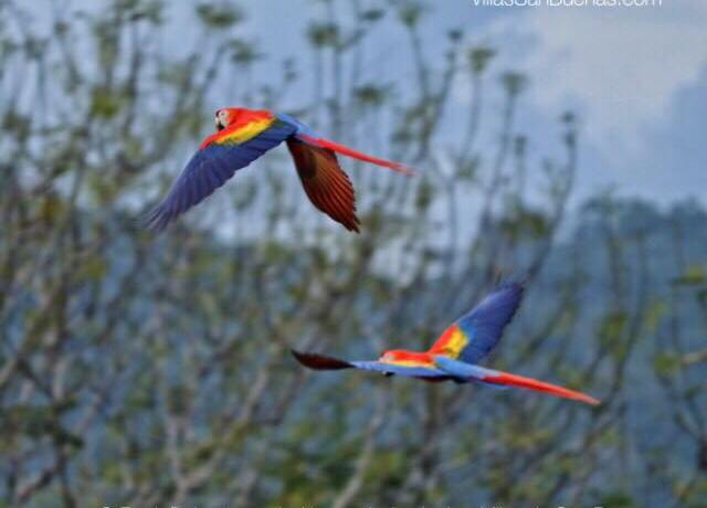 lapas flying costa rica macaw