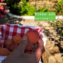 Egenodlade persikor.