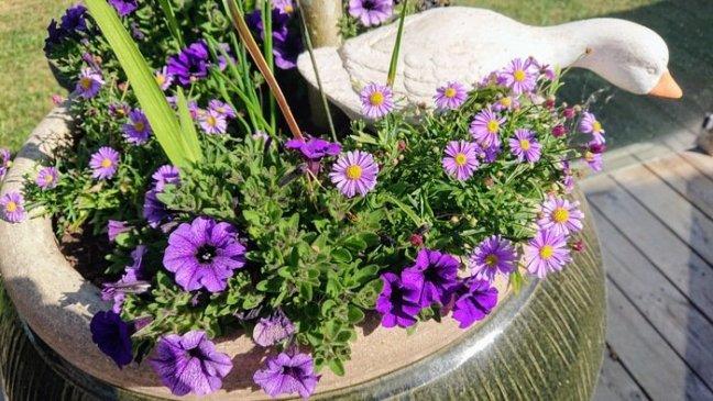Lila blommor i kruka