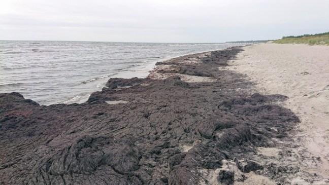 Sjöalger vid stranden