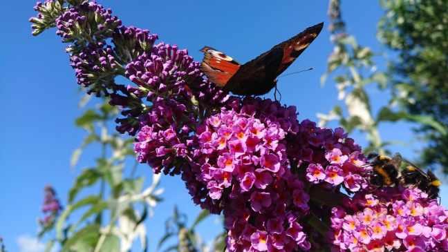 Fjäril på fjärilsbuske.