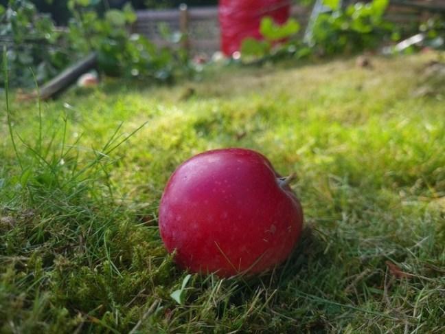 Rött äpple på marken