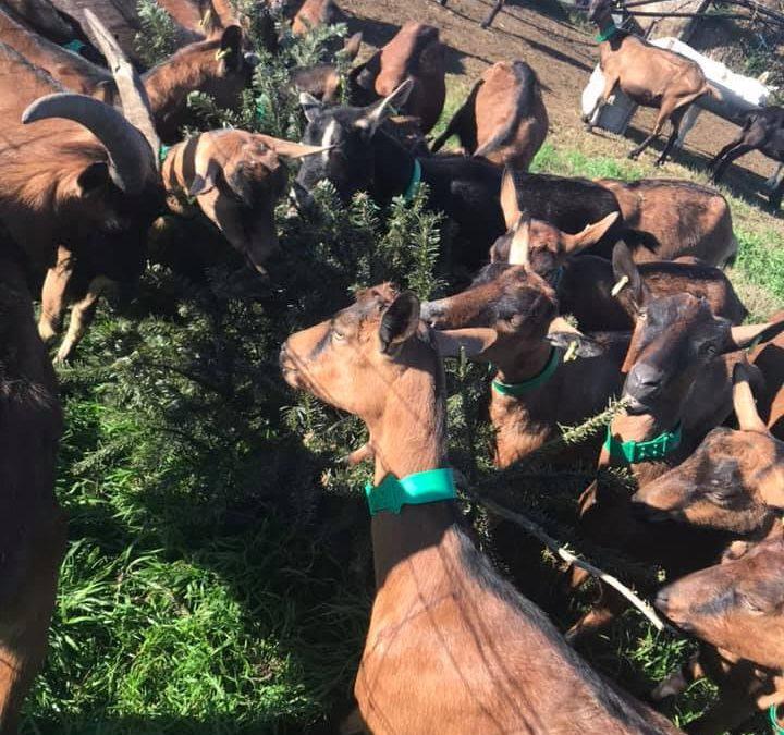 Recyclez vos sapins de Noel qui serviront de nourriture aux chèvres