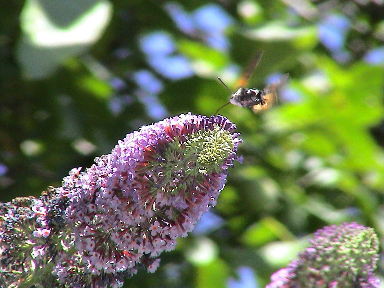abeilles pap juil09 032