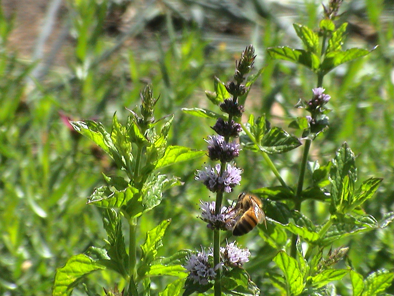 abeilles pap juil09 014