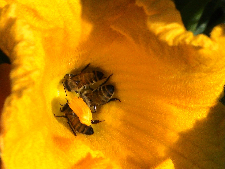 abeilles pap juil09 018