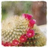 cactusenflor4
