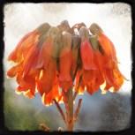 campanillas naranjas2