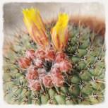 flor amarilla (cactus)