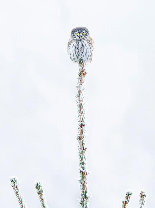 The littel owl