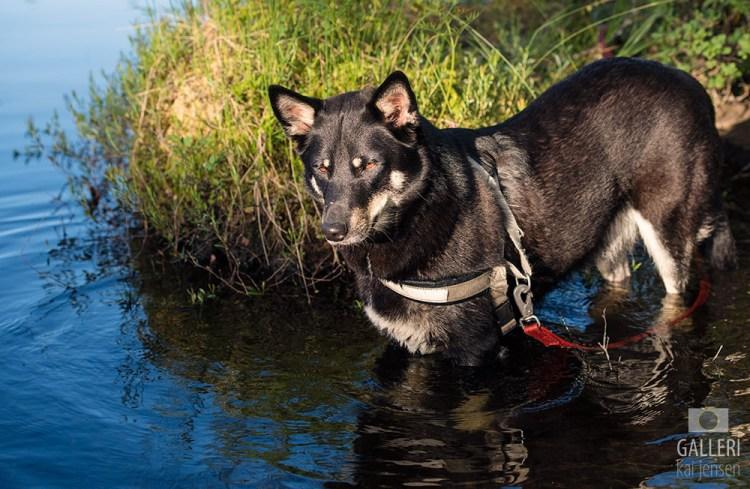 Molly, en Lapsk Vallhund