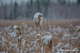 Här står säven i snöhöljd skrud som tuppar i hönshuset