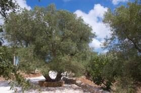 Olivenbäume direkt am Haus