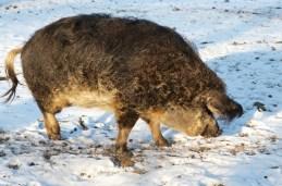 Schwalbenbäuchiges Wollschwein