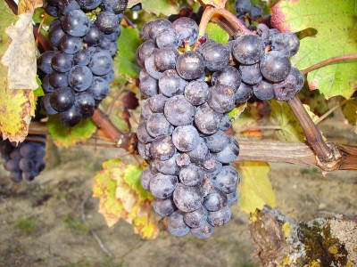 Grappes de raisin à l'origine des arômes du vin