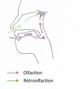 Schéma de la rétroolfaction