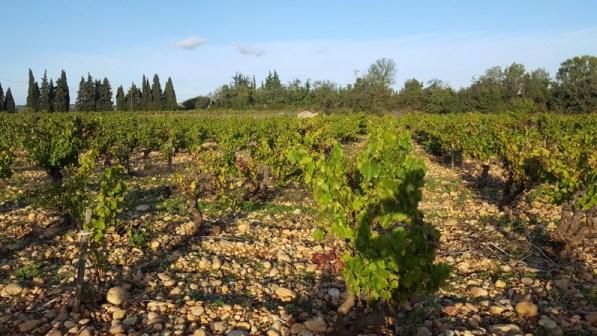 Vignes sur galets roulés - Châteauneuf-du-Pape