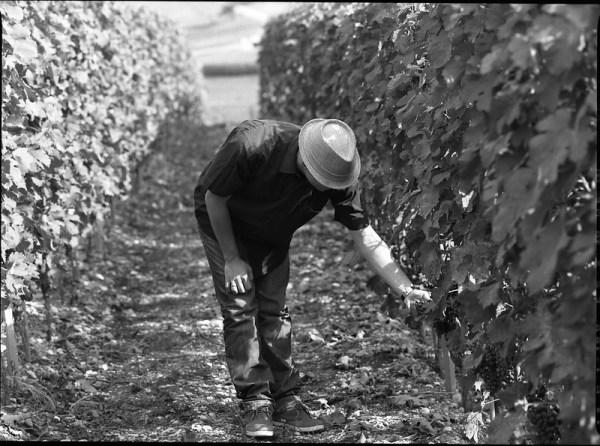 Vigneron penché sur le raisin dans sa vigne