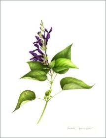 sauge-ananas-aquarelles-botaniques-vincent-jeannerot