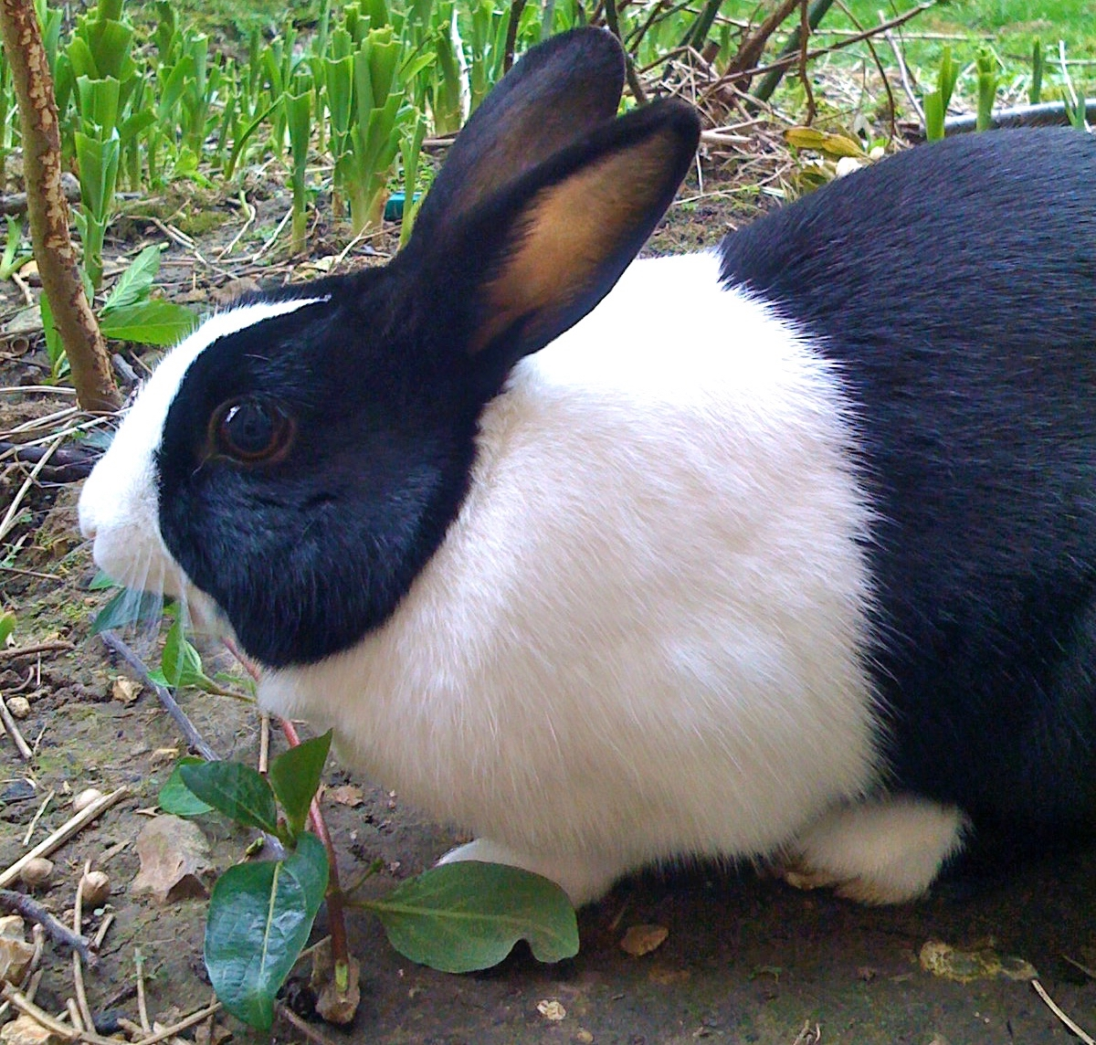 A close up photograph of a black and white rabbit