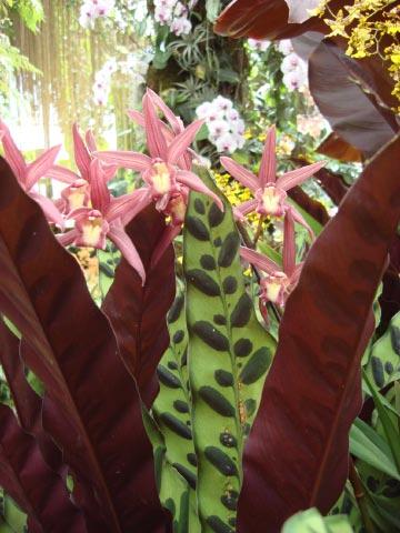 longwood-orchid-65