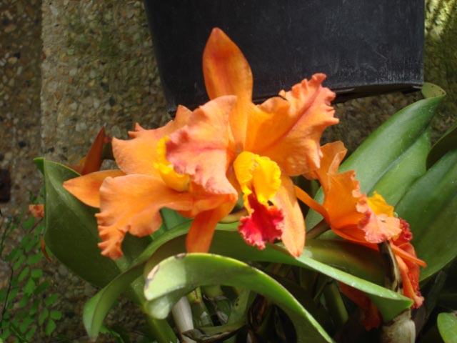 longwood-orchids-17