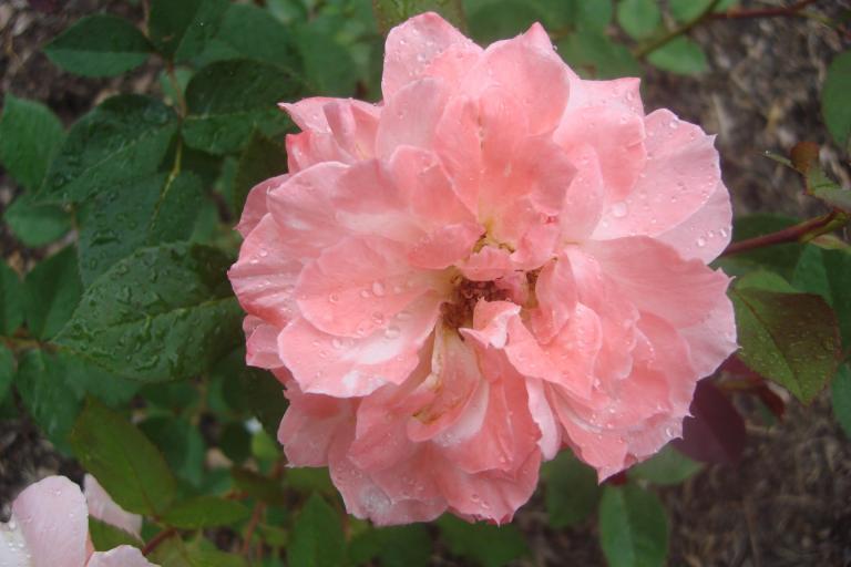 NY Botanical Gardens Bronx Roses Mid-June 2015-06