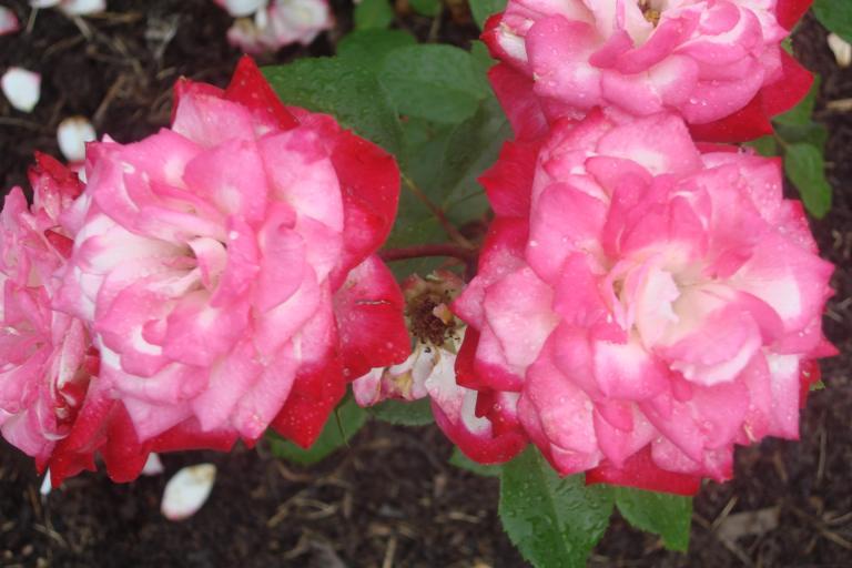 NY Botanical Gardens Bronx Roses Mid-June 2015-10