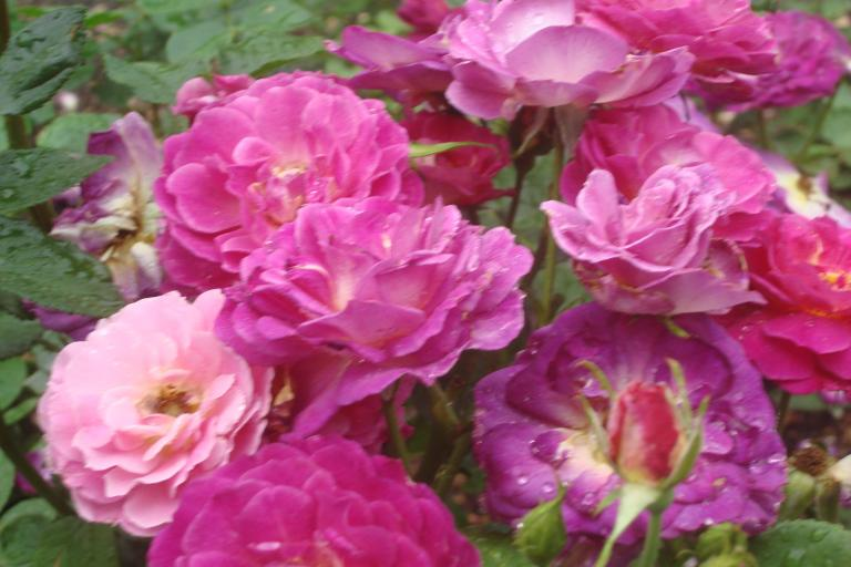 NY Botanical Gardens Bronx Roses Mid-June 2015-27