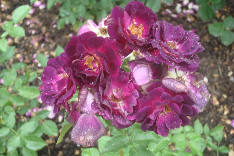 NY Botanical Gardens Bronx Roses Mid-June 2015-31
