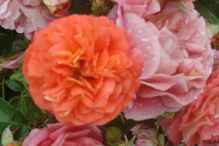 NY Botanical Gardens Bronx Roses Mid-June 2015-36
