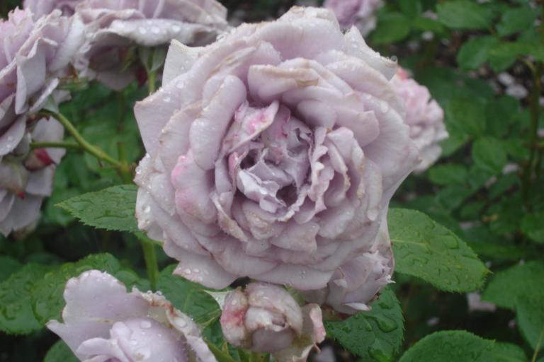 NY Botanical Gardens Bronx Roses Mid-June 2015-41