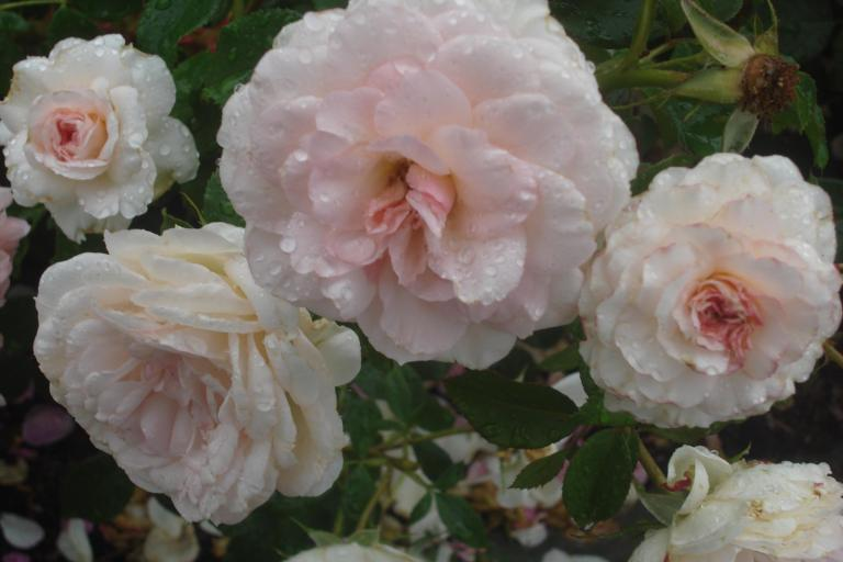 NY Botanical Gardens Bronx Roses Mid-June 2015-48