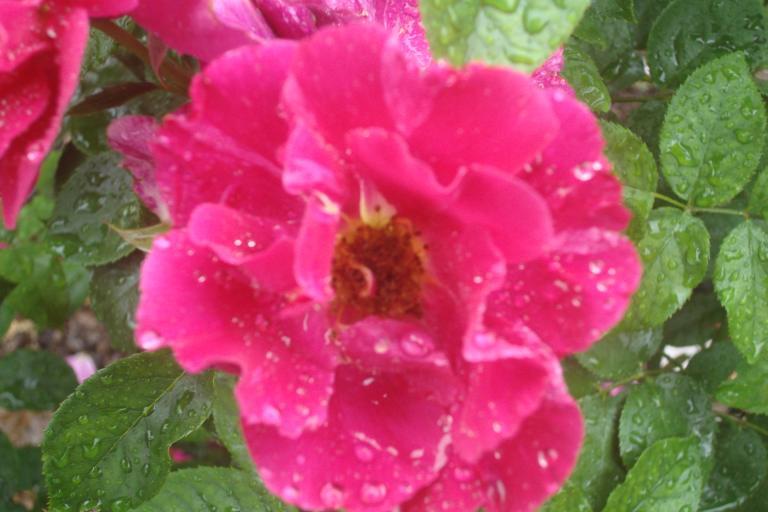 NY Botanical Gardens Bronx Roses Mid-June 2015-55