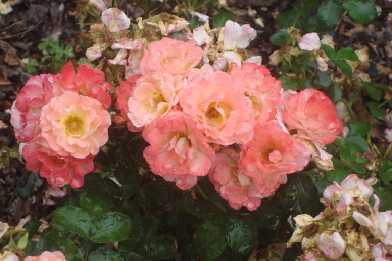 NY Botanical Gardens Bronx Roses Mid-June 2015-62