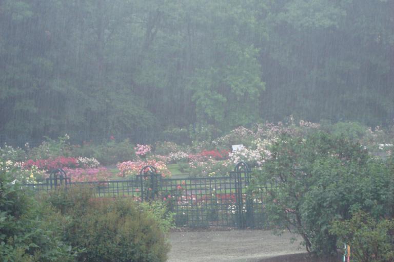 NY Botanical Gardens Bronx Roses Mid-June 2015-75