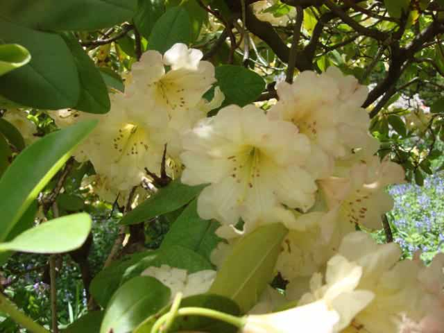 Rhododendrons, Winterthur, DE-36