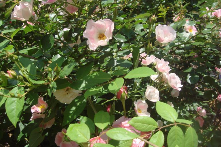 Roses Brooklyn Botanical Garden June 2015-134