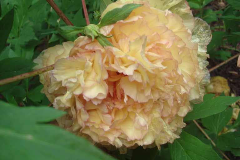 Peonies, Winterthur, May 2014-03